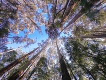 Il baldacchino della cima d'albero da sotto immagine stock libera da diritti