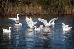 Il ballo bianco delle ali di angelo dei gooses Immagini Stock Libere da Diritti