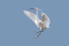 Egret fotografia stock libera da diritti