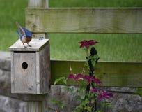 Il ballo di Papa Bluebird Fotografia Stock Libera da Diritti