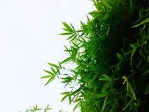 Il bambù ha abbondanza delle foglie e degli ambiti di provenienza bianchi Fotografia Stock Libera da Diritti