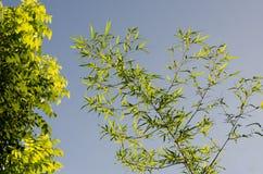 Il bambù lascia il fondo Fotografie Stock