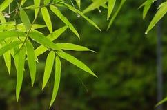 Il bambù lascia il fondo Fotografia Stock