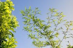 Il bambù lascia il fondo Fotografie Stock Libere da Diritti