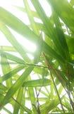 Il bambù lascia il fondo retroilluminato Immagine Stock