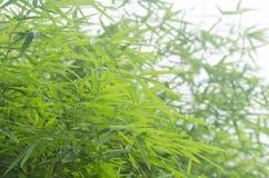 Il bambù verde lascia la priorità bassa Immagine Stock