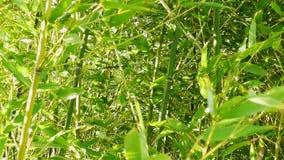 Il bambù verde sta muovendosi in vento stock footage