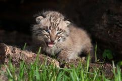 Il bambino Bobcat Kit (rufus di Lynx) grida dentro il ceppo Fotografia Stock