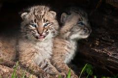 Il bambino Bobcat Kits (rufus di Lynx) apre la bocca Fotografie Stock Libere da Diritti