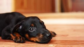 Il bambino che sveglio il cane è cade addormentato Primo piano del cucciolo archivi video
