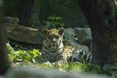 Il bambino del giaguaro Fotografia Stock Libera da Diritti