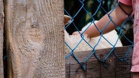 Il bambino della bambina segna un agnello bianco tramite un recinto del wicket del ferro, movimento lento archivi video