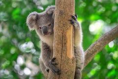Il bambino della koala sta sedendosi sull'albero immagine stock libera da diritti