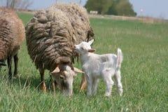 Il bambino e la pecora ridicoli bianchi è pascuto su un'azienda agricola immagini stock libere da diritti