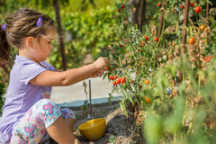 Il bambino sta prendendo i pomodori ciliegia dal giardino casalingo ecologico bulgaria Immagine Stock