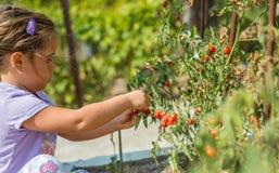 Il bambino sta prendendo i pomodori ciliegia dal giardino casalingo ecologico bulgaria Fotografia Stock