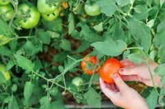Il bambino sta tenendo un pomodoro rosso nella serra quando raccolto fotografia stock libera da diritti