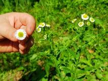 Il bambino tiene in sua mano un piccolo fiore interessante fotografia stock libera da diritti