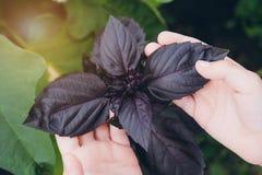 Il bambino tiene una mano delle foglie del basilico Immagine Stock Libera da Diritti