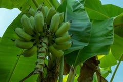 Il banano non maturo crudo nel frutteto con la banana lascia il fondo immagini stock libere da diritti