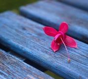 il banco fiorisce il rosa Fotografie Stock