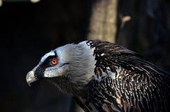 Il barbatus del Gypaetus dell'avvoltoio barbuto fotografia stock