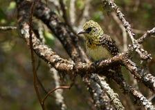 Il barbet di D'Arnaud (darnaudii di Trachyphonus), un bello uccello ha trovato in Tanzania Immagine Stock
