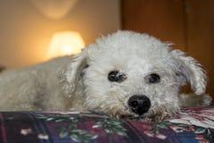 Il barboncino adorabile posa per la macchina fotografica sul letto Immagine Stock