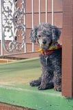 Il barboncino aspetta sul portico Fotografie Stock