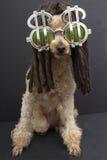 Il barboncino con teme e gli occhiali da sole del simbolo di dollaro Fotografie Stock