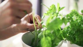 Il basilico di raccolto della donna lascia dalla pianta in vaso da fiori stock footage