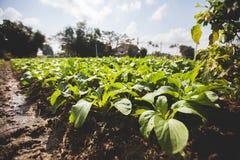 Il basilico pianta l'azienda agricola Fotografia Stock