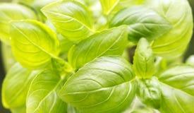 Il basilico verde fresco lascia il fondo Fotografia Stock