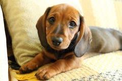 Il bassotto tedesco del cucciolo sta trovandosi sul sofà Immagine Stock