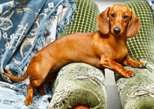 Il bassotto tedesco di Brown si trova su due sofà Immagine Stock Libera da Diritti