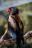 Il Bateleur Eagle fotografia stock libera da diritti