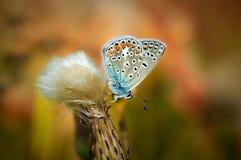 Il bellargus di Polyommatus, Adonis Blue, è una farfalla nella lycaenidae della famiglia Bella farfalla che si siede sul fiore Fotografie Stock Libere da Diritti