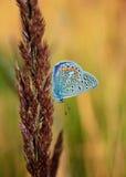 Il bellargus di Polyommatus, Adonis Blue, è una farfalla nella lycaenidae della famiglia Bella farfalla che si siede sul gambo Fotografie Stock Libere da Diritti