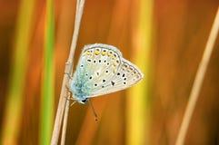 Il bellargus di Polyommatus, Adonis Blue, è una farfalla nella lycaenidae della famiglia Bella farfalla che si siede sul gambo Fotografia Stock