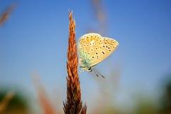 Il bellargus di Polyommatus, Adonis Blue, è una farfalla nella lycaenidae della famiglia Bella farfalla che si siede sul gambo Fotografie Stock