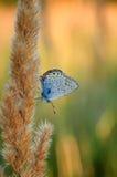 Il bellargus di Polyommatus, Adonis Blue, è una farfalla nella lycaenidae della famiglia Bella farfalla che si siede sul gambo Fotografia Stock Libera da Diritti