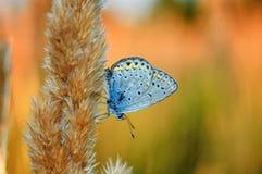 Il bellargus di Polyommatus, Adonis Blue, è una farfalla nella lycaenidae della famiglia Bella farfalla che si siede sul gambo Immagini Stock