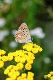 Il bellargus di Polyommatus, Adonis Blue, è una farfalla nella lycaenidae della famiglia Bella farfalla che si siede sul gambo Immagine Stock