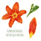 Il bello acquerello fiorisce i gigli arancio con gli elementi della pianta Illustrazione botanica di vettore royalty illustrazione gratis