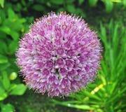 Il bello allium sferico fiorisce in tonalità della porpora Fotografia Stock