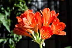 Il bello alstromeria fiorisce il colore rosso come sfondo naturale Immagine Stock Libera da Diritti