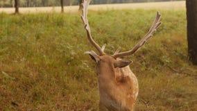 Il bello animale selvatico ha macchiato i cervi con i corni sui precedenti della natura, cervo giapponese video d archivio