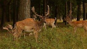 Il bello animale selvatico ha macchiato i cervi con i corni sui precedenti della natura, cervo giapponese, all'aperto stock footage