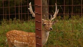 Il bello animale selvatico ha macchiato i cervi con i corni sui precedenti della natura, cervo giapponese, chiazzato archivi video