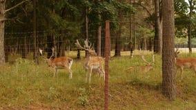 Il bello animale selvatico ha macchiato i cervi con i corni sui precedenti della natura, cervo giapponese, zoologico stock footage